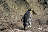 enrico gasperi_ Rockhopper penguin bored (ph. Steinfurth)