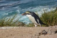 enrico gasperi_ Rockhopper penguin (ph. Steinfurth)